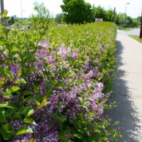 Chanhassen Roadside Bushes